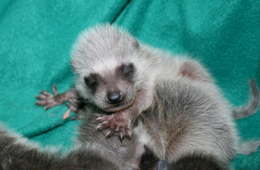 baby-raccoons3-09-3