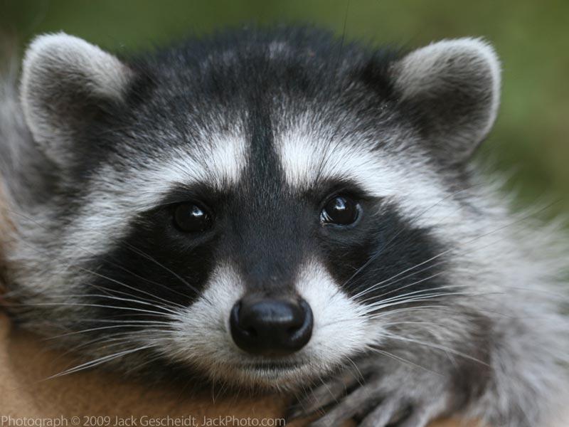 Animal Stories Raccoon Face
